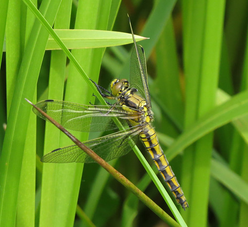 Black-tailed Skimmer Orthetrum cancellatum Tophill Low NR, East Yorkshire June 2015