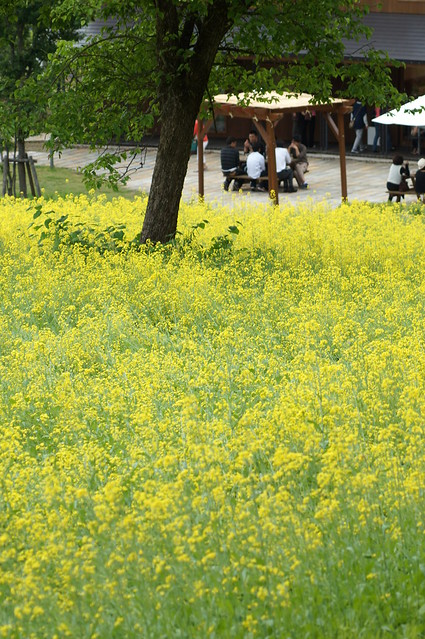 八海醸造 菜の花畑_201505_NO2