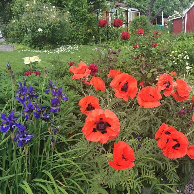 Nu blommar iris, vallmo, pion, lupin, nyponros, blåklint, löjtnantshjärta, syren, akleja och guldregn på #kolonin.