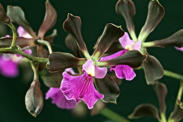 Encyclia cordigera var roseum 17345461433_dce5e6d0f7_z