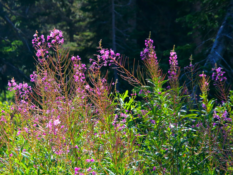 IMG_8745 Fireweed on Upper Two Medicine Lake Trail