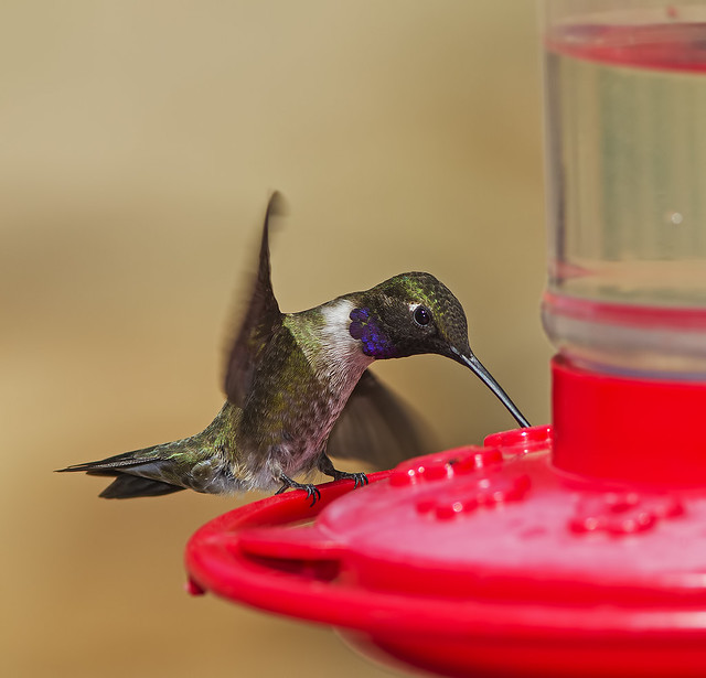 Black-chinned Hummer 7d_2068