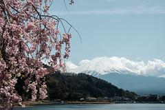 20180413 Mount Fuji, Sakura